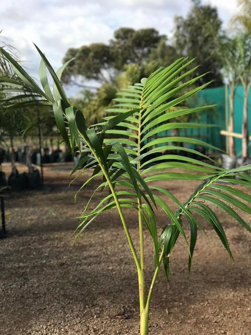 Types of Palm Plants 30