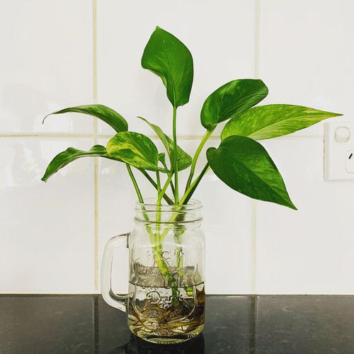 Indoor Plants You Can Grow in Glass Jars and Bottles 3