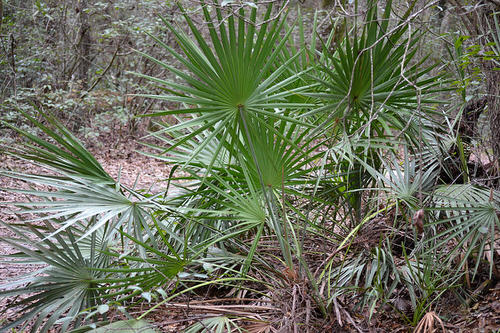 Types of Palm Plants 31