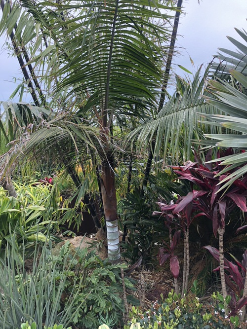 Types of Palm Plants 32