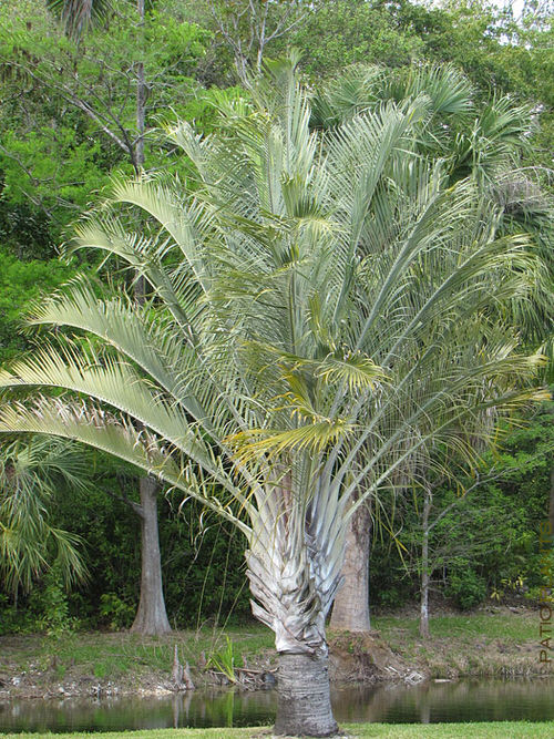 Types of Palm Plants 33