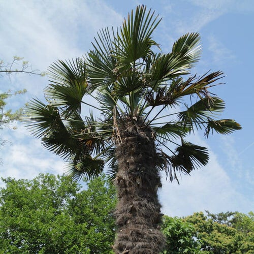 Types of Palm Plants 34