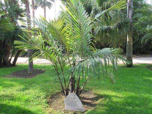 Types of Palm Plants 35