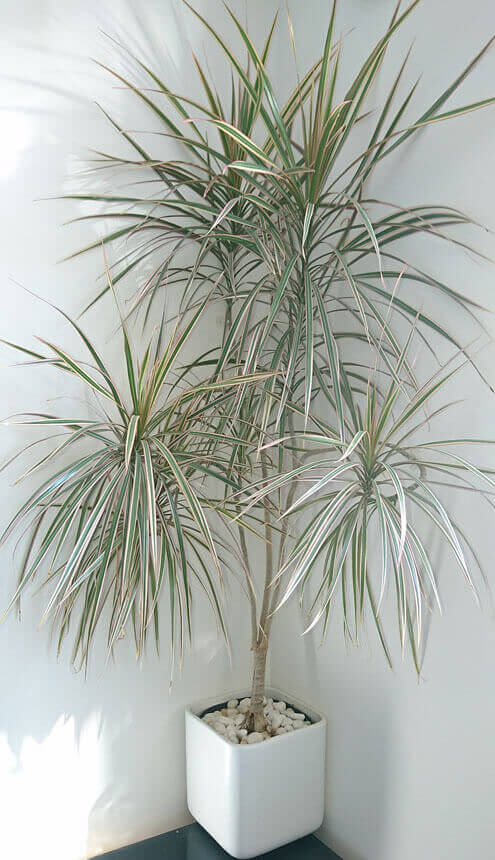 Best Tall Houseplants with Patterns 4