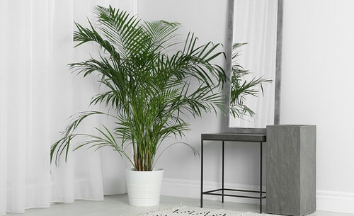 Types of Palm Plants 4