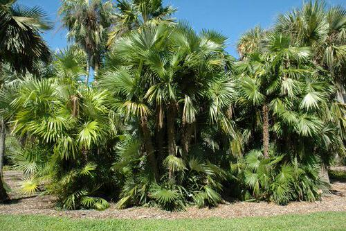 Types of Palm Plants 36