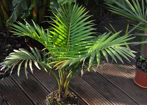 Types of Palm Plants 37