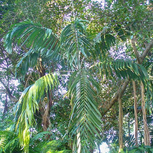 Types of Palm Plants 38