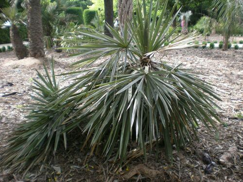 Types of Palm Plants 39