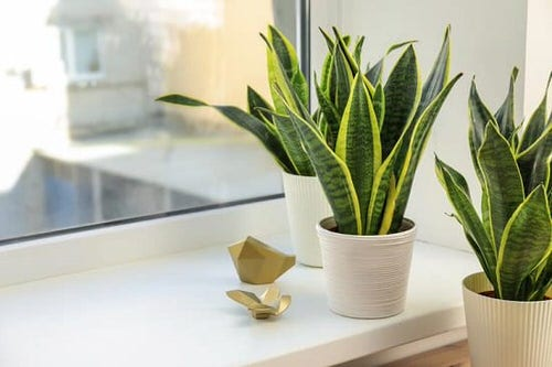 Snake Plant Decoration Ideas 3