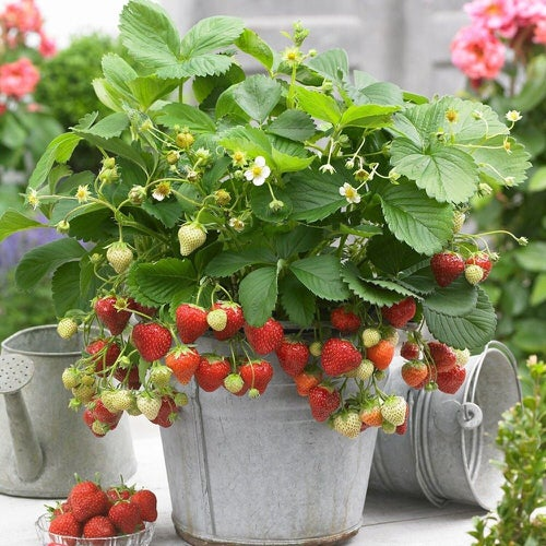 Fruits You Can Grow Indoors 4