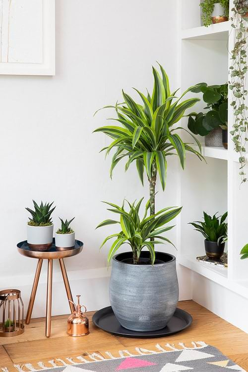 Best Indoor Plants for Dining Room 5