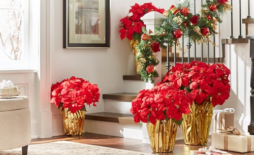 Ideas to Decorate your Home with Poinsettias