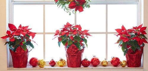 Ideas to Decorate your Home with Poinsettias 2