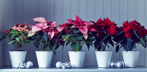 Ideas to Decorate your Home with Poinsettias 3