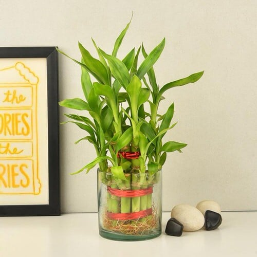 Famous Lucky Bamboo Styles & Varieties 3