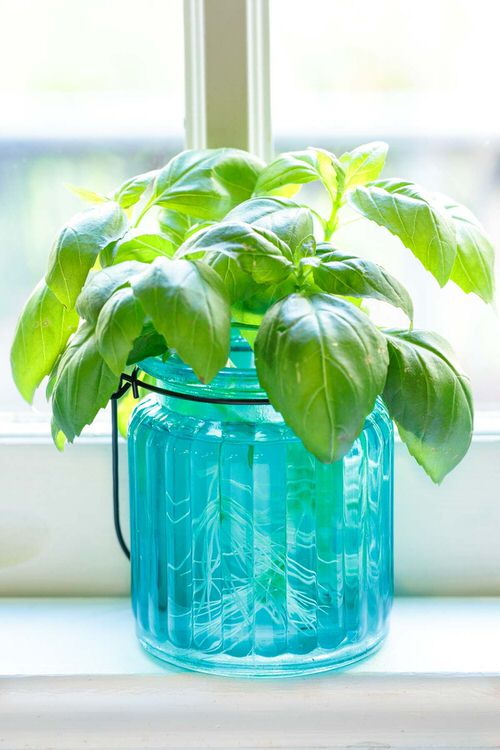 Herbs that Can be Grown in Water Indoors All Year Round