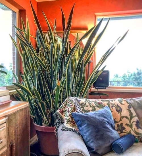 Fast Growing Indoor Plants that Grow Tall