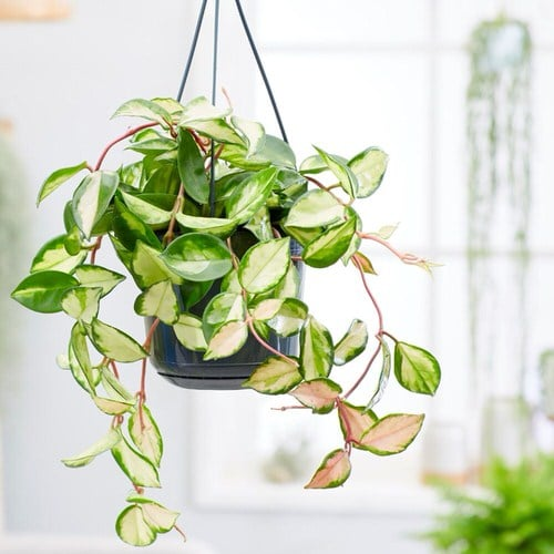 Most Attractive Houseplants for Decorative Purpose