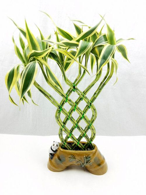 Famous Lucky Bamboo Styles & Varieties 8