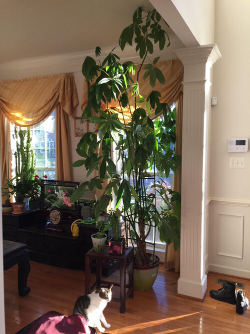 Fast Growing Indoor Plants that Grow Tall 5