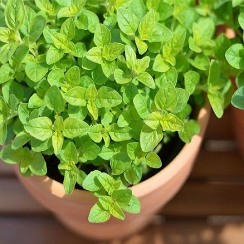 Herbs You Can Grow for Cough and Cold 6