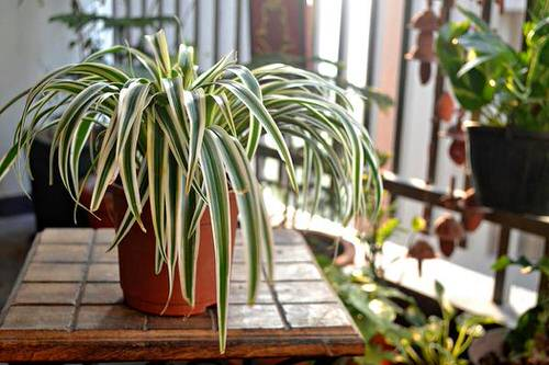 Houseplants that Grow from Division 6