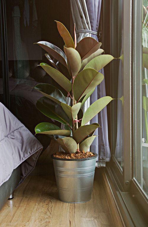 See How Rubber Plant Tree Can Liven Up Your Home Decor 6
