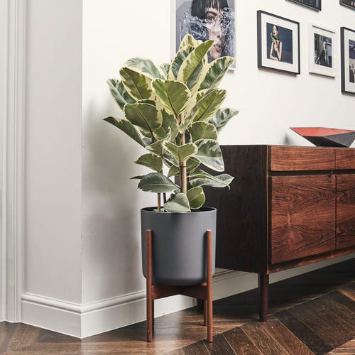 See How Rubber Plant Tree Can Liven Up Your Home Decor 7