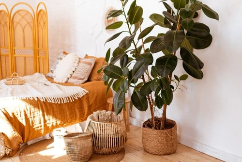 See How Rubber Plant Tree Can Liven Up Your Home Decor