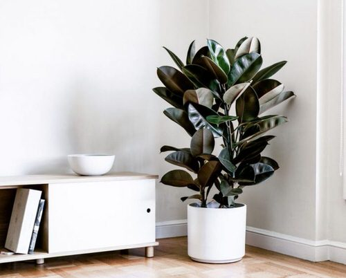 See How Rubber Plant Tree Can Liven Up Your Home Decor 9