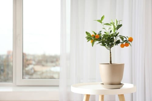 Indoor Fruit Tree Pictures for Inspiration