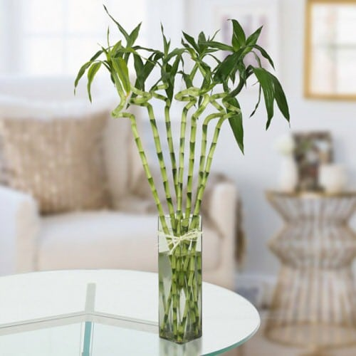 Famous Lucky Bamboo Styles & Varieties 5