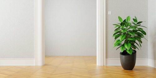 See How Rubber Plant Tree Can Liven Up Your Home Decor 2