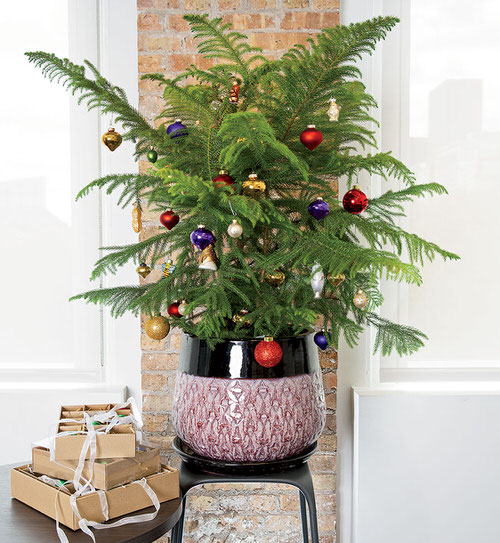Houseplants That Can be Used as Christmas Tree Alternatives