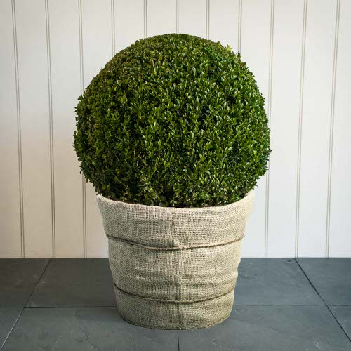 Outdoor Plants that Can be Grown as Indoor Plants 3