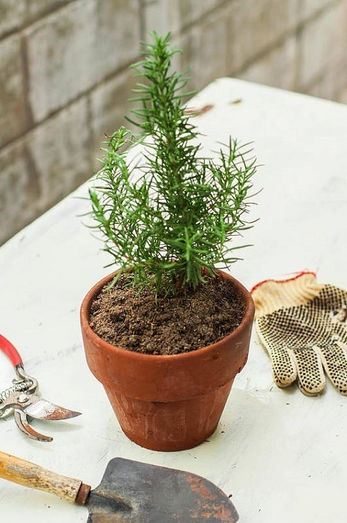 Herbs You Can Grow for Cough and Cold 3
