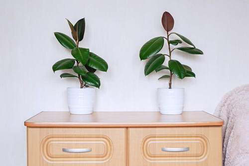 See How Rubber Plant Tree Can Liven Up Your Home Decor 3