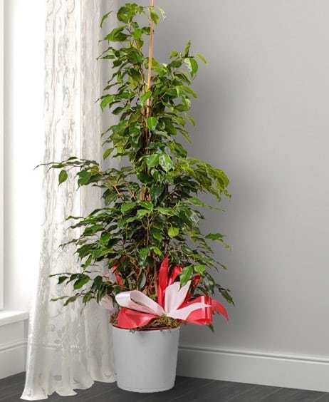 Houseplants That Can be Used as Christmas Tree Alternatives 2