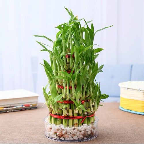 Famous Lucky Bamboo Styles & Varieties 4