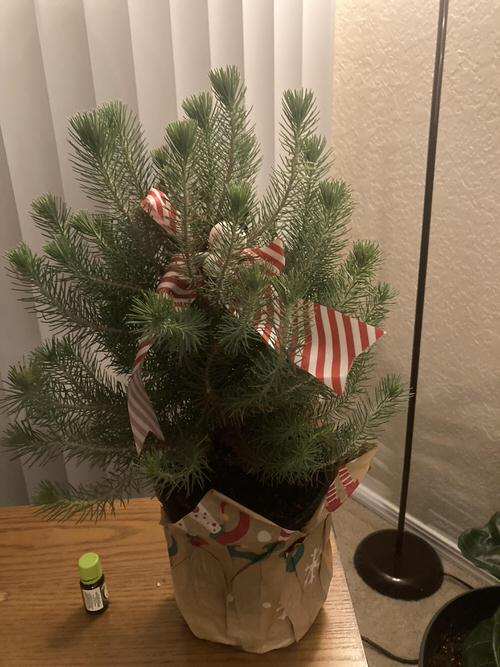 Houseplants That Can be Used as Christmas Tree Alternatives 4