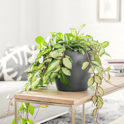 Indoor Plants that Absorb CO2 at Night 4