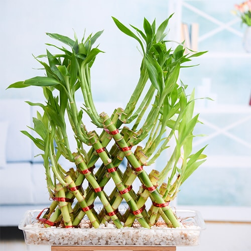 Famous Lucky Bamboo Styles & Varieties 6