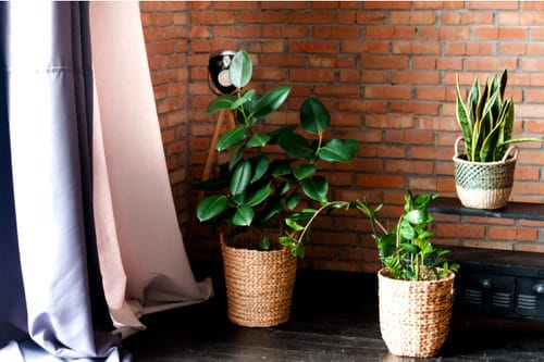 See How Rubber Plant Tree Can Liven Up Your Home Decor 4