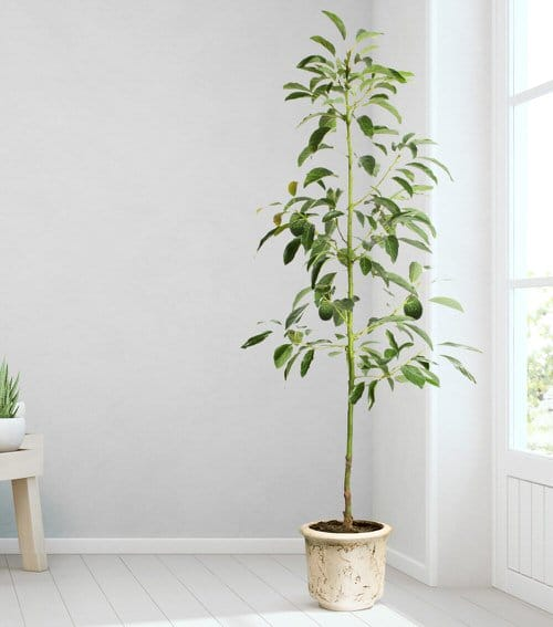 Indoor Fruit Tree Pictures for Inspiration 5