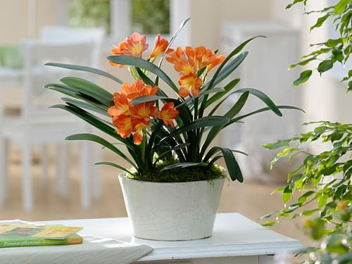Easiest Indoor Blooming Houseplants 5