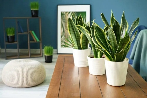 Most Attractive Houseplants for Decorative Purpose 5