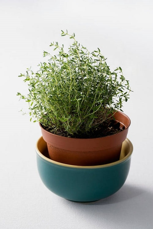 Herbs You Can Grow for Cough and Cold 5