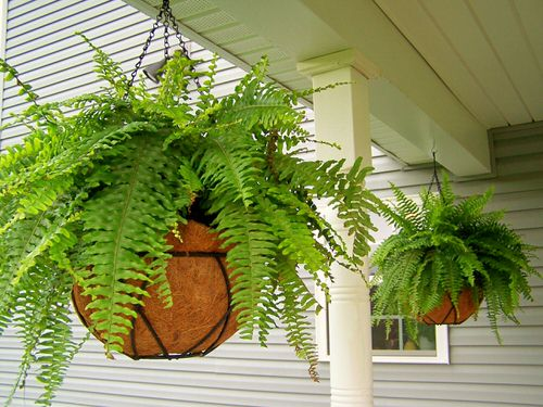 Stylize Your Home with Big and Lush Ferns 12