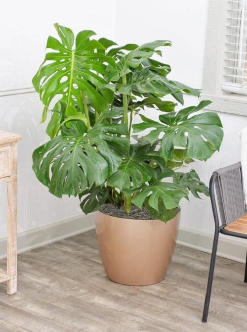 Indoor Plants with Fanciful Cut Foliage